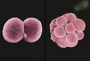 تقسیم سلولی و ایجاد جنین