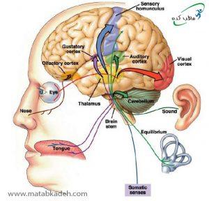 ارتباط گیرنده های حسی با مغز